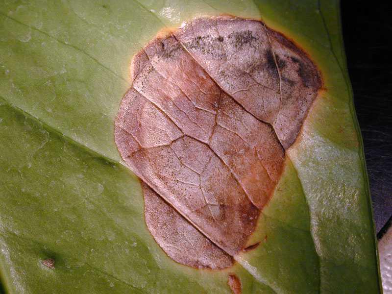 Почему у антуриума сохнут листья по краям. домашний антуриум: чернеют листья? лечим растение