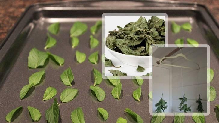 Собирать мелиссу для сушки на зиму: когда лучше срезать листья для чая и других целей – до цветения или после, в какое время и как правильно проводить заготовку?