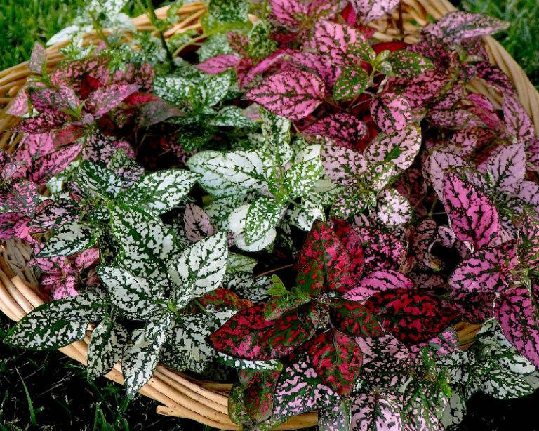 Гипоэстес: выращивание из семян и уход в домашних условиях