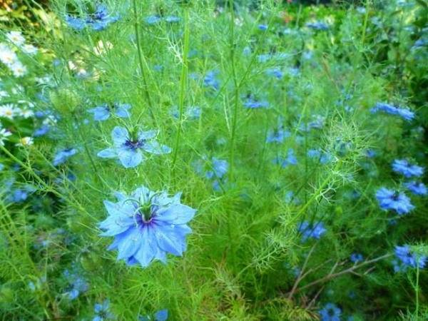 13 однолетников с синими и голубыми цветками