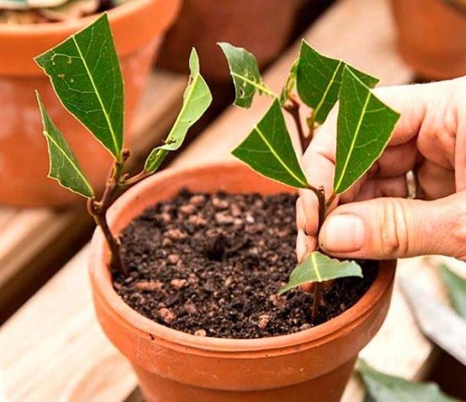 Выращивание лаврового листа в домашних условиях