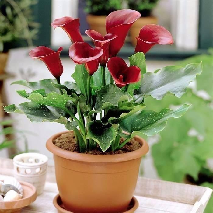 Цветок калла: уход и выращивание в горшках в домашних условиях, калы цветы