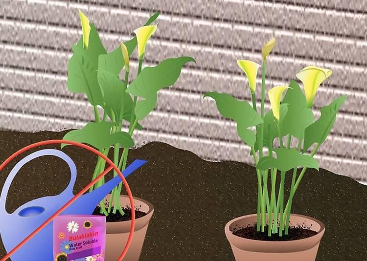 Посадка и уход за цветком калла в домашних условиях: выращивание в горшке