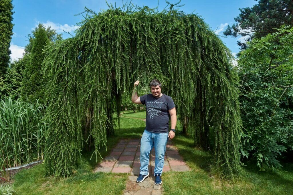 Плакучие деревья: лиственница на штамбе, ива, кипарис, кустарники