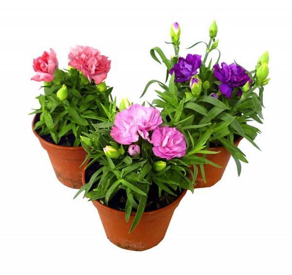 Как ухаживать за цветком тещин язык: как посадить и пересадить, как он цветет
