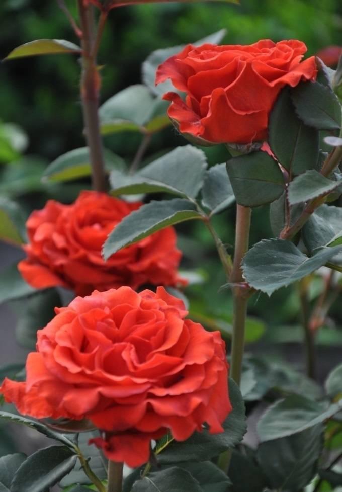 Описание чайно-гибридной розы сорта эль торо: отличительные черты, выращивание