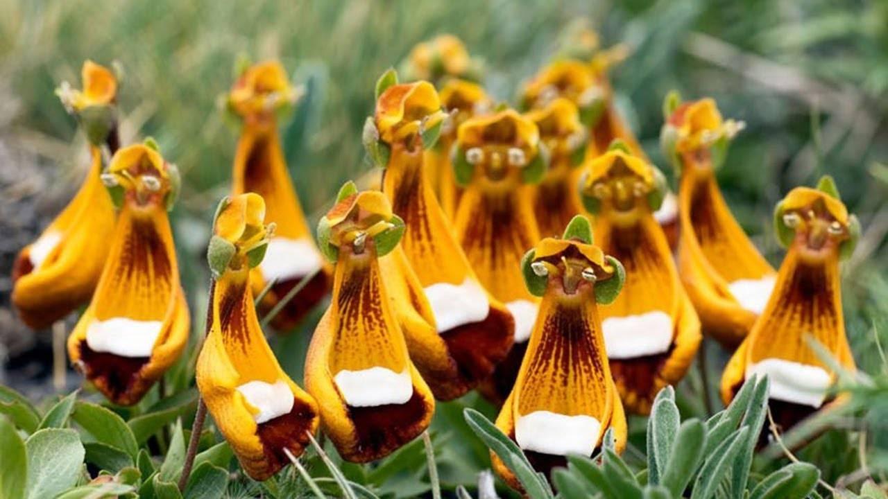 Выращивание кальцеолярии из семян в домашних условиях, советы по уходу за цветком