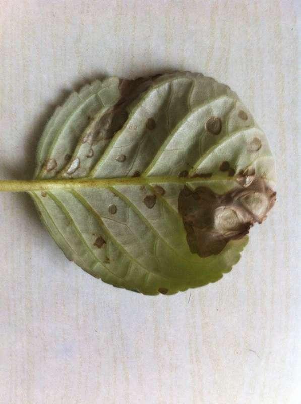 Глоксиния - болезни листьев, причины, описание, фото, лечение