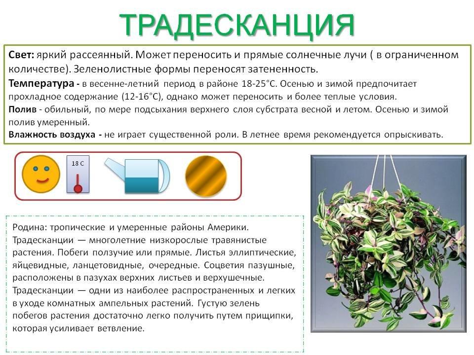 Правила ухода за примулой дома: полив, выращивание, размножение и пересадка