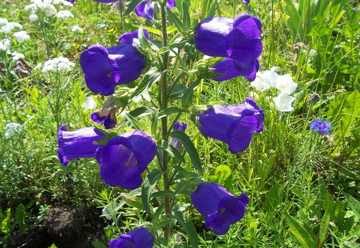 Цветок колокольчик. общие сведения