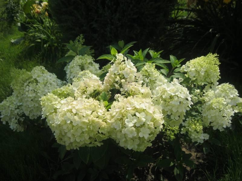Белые гортензии: виды садовых низкорослых гортензий с мелкими цветами