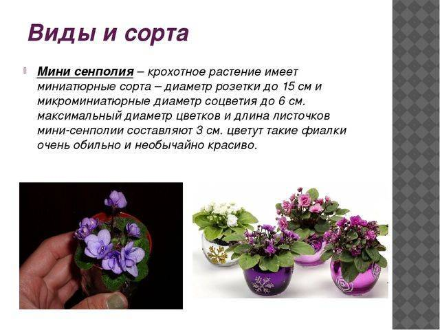 Правильный уход за мини-розами в горшочках в домашних условиях: виды карликовых культур, нюансы выращивания миниатюрных комнатных сортов, ошибки при их разведении