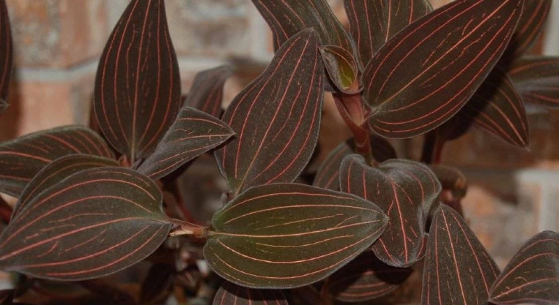 Орхидея лудизия: уход, болезни, размножение в домашних условиях. полезные советы для начинающих.