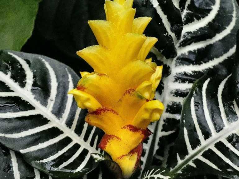 Афеландра: уход в домашних условиях, фото, а также способы размножения цветка и какой покупной грунт подойдет?