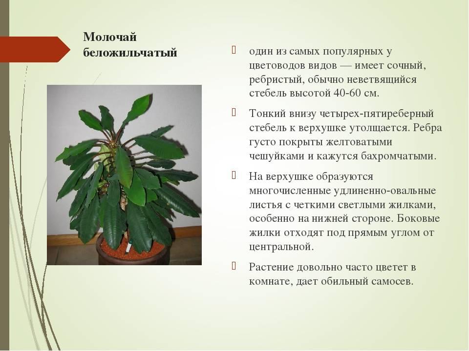 50 фото разных видов и сортов  растения «молочай комнатный», его полезные свойства и противопоказания