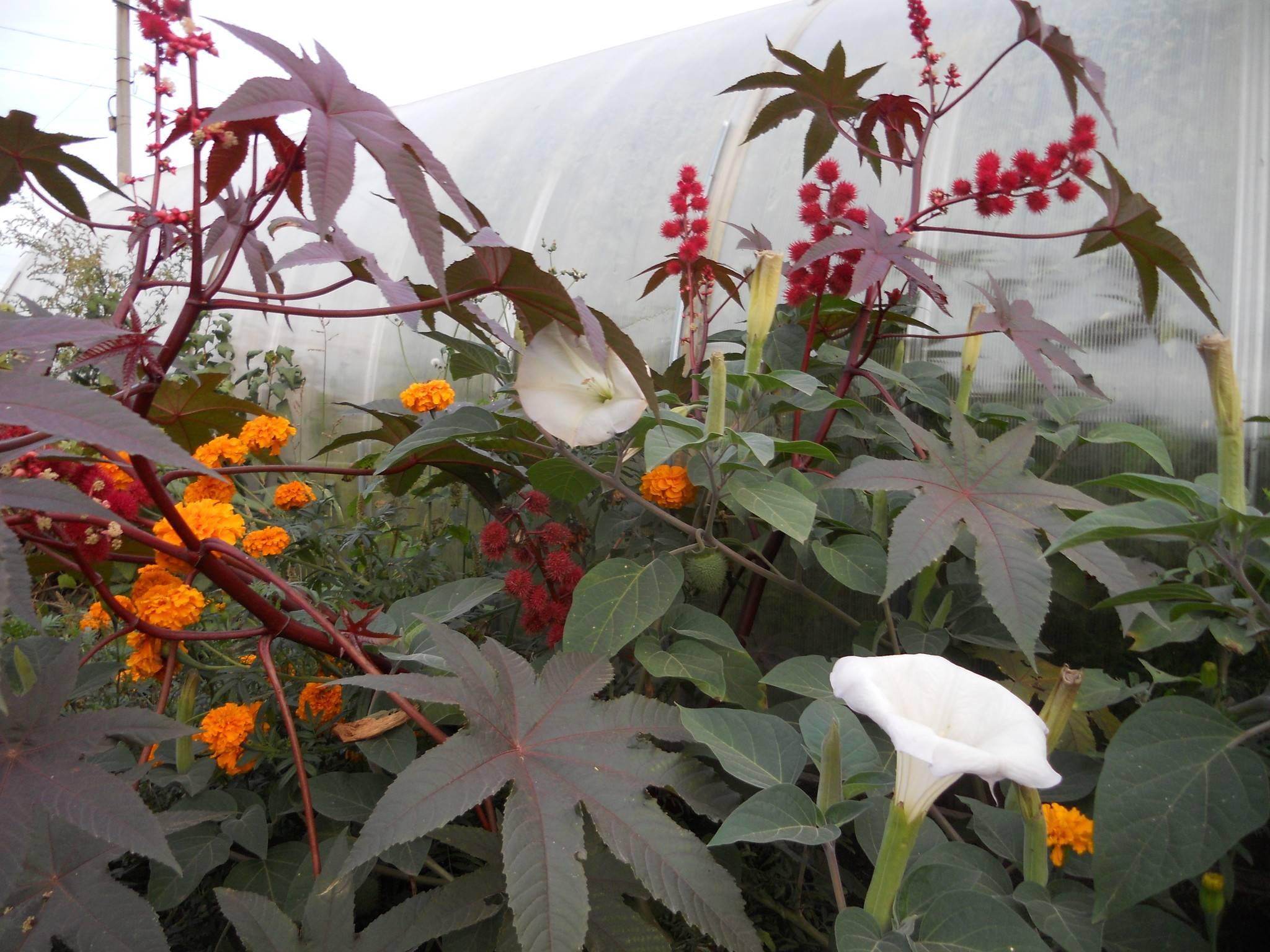 Как посадить клещевину в открытый грунт: выращивание из семян, особенности ухода
