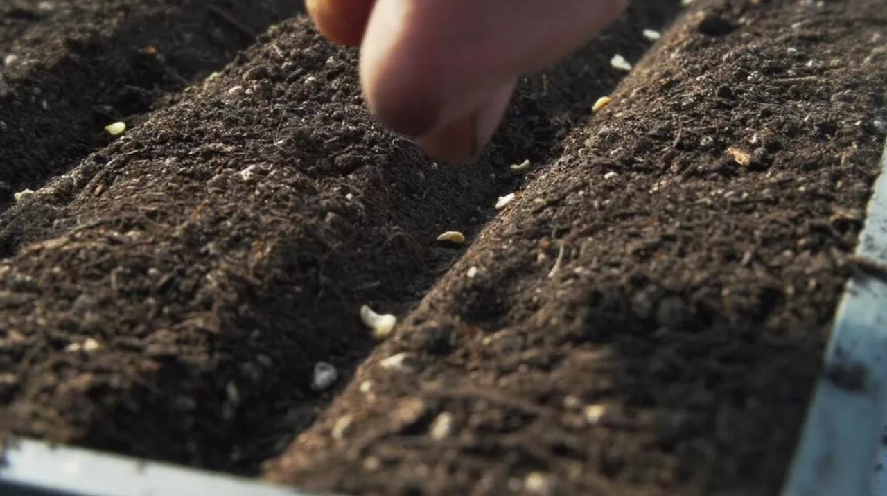 Как вырастить на участке крупную садовую ромашку?
