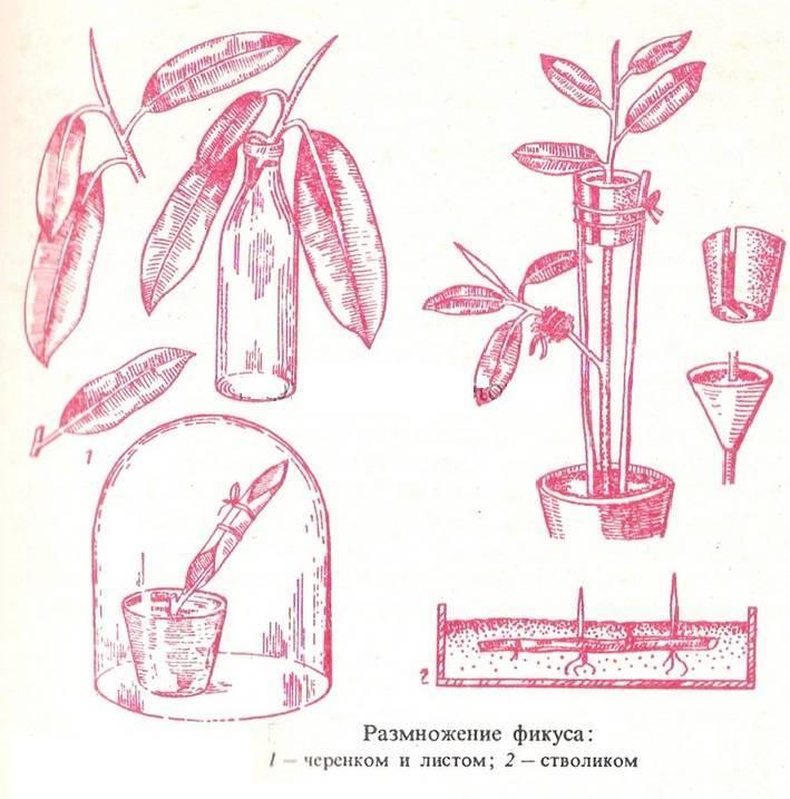 Как размножить долларовое дерево в домашних условиях