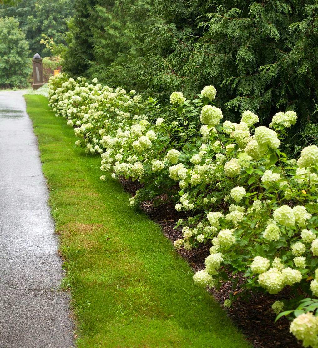 Гортензия лаймлайт (limelight) метельчатая садовая