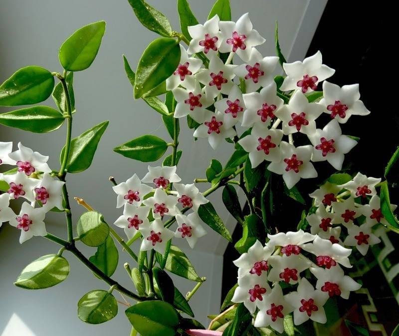 Прекрасная и опасная хойя - можно ли держать цветок дома?