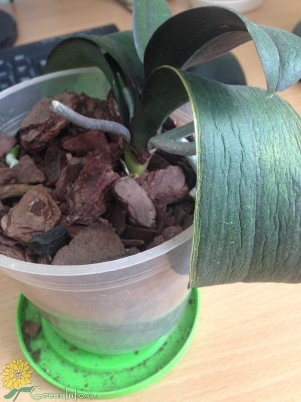 Почему у орхидеи вянут и морщатся листья?