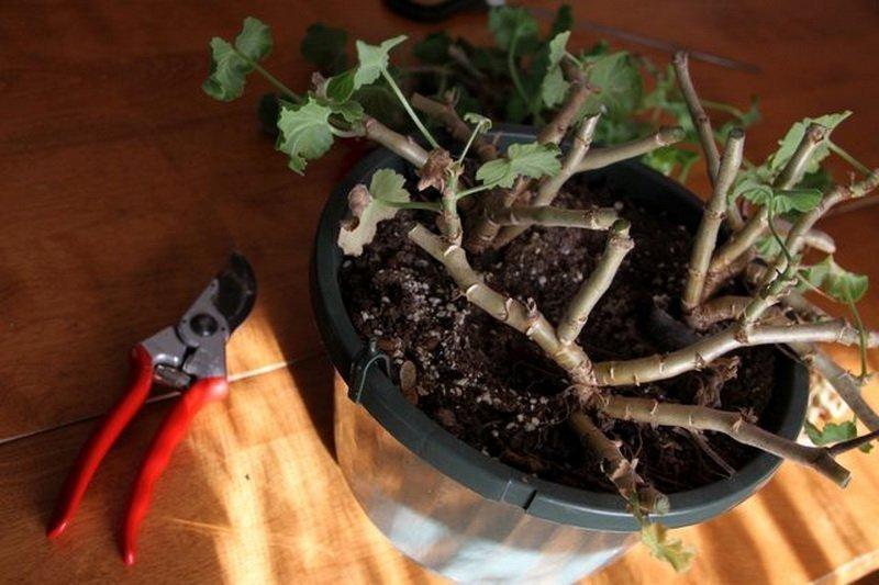Почему не цветет герань — удобрения для герани