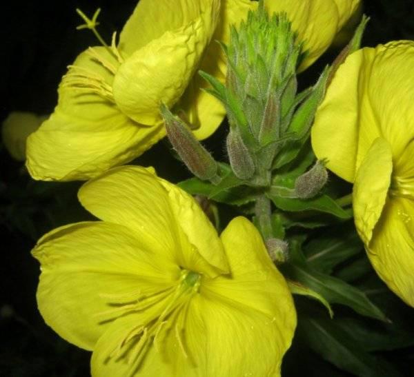 Лунник: выращивание цветка