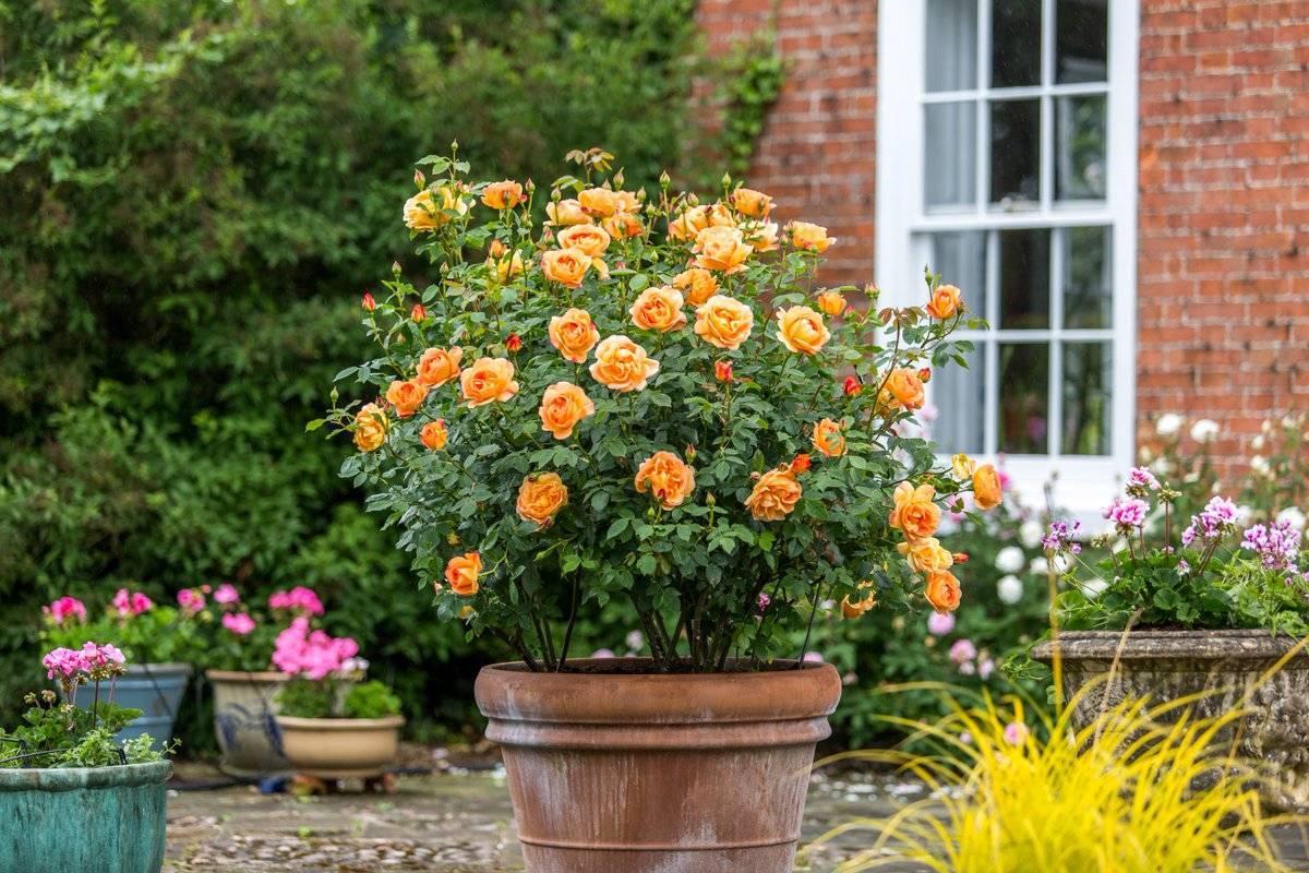 Розы без шипов: название и описание сортов с фото, а также особенности выращивания