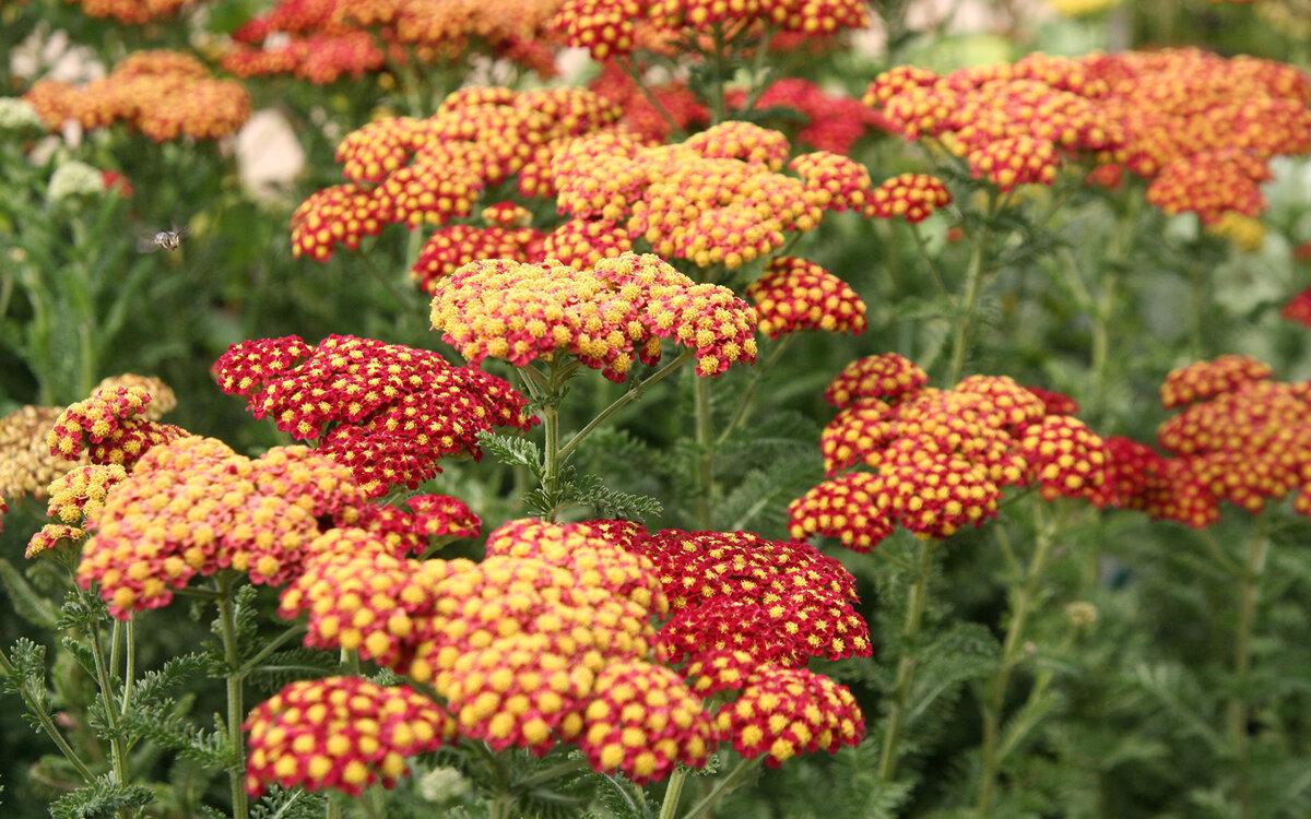 Многолетние цветы: название и описание
