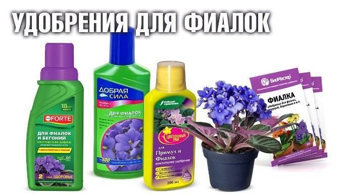 Рекомендации, как заставить фиалку цвести в домашних условиях