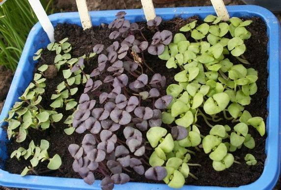 Посадка и выращивание базилика из семян, рассады в открытом грунте