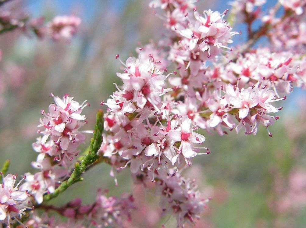 Тамарикс - лиственные деревья и кустарники - декоративные деревья и кустарники - greeninfo.ru