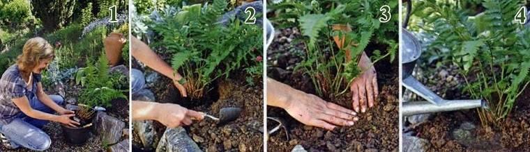 Озеленение участка своими руками: как выращивать папоротники в саду