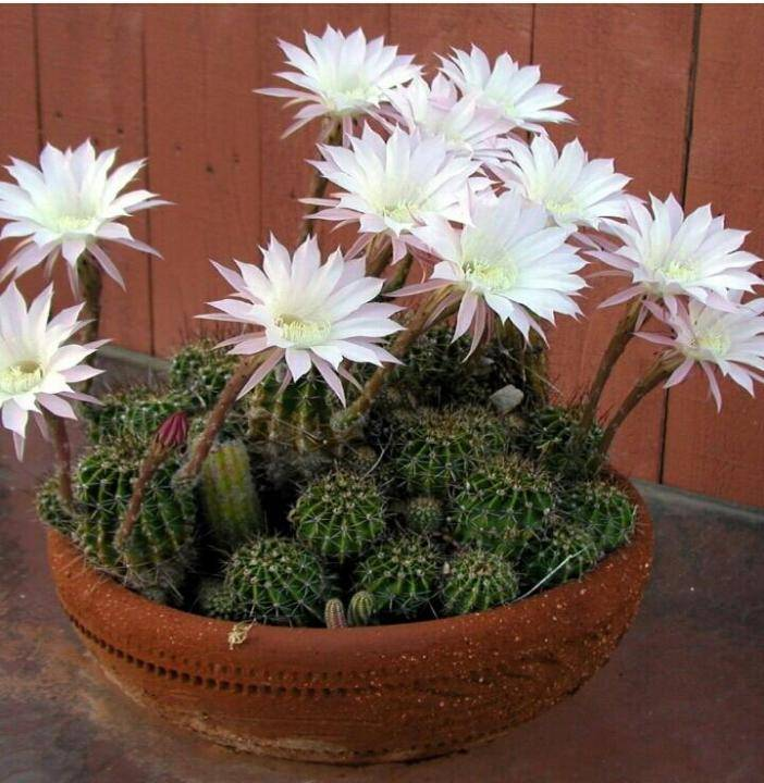 Домашний цветок эхинопсис: фото цветущих кактусов, названия видов, уход в домашних условиях