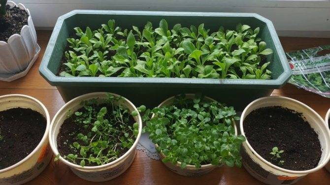 Мята – выращивание из семян в домашних условиях