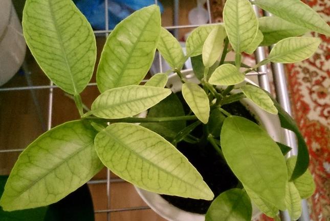 Причины болезней домашних лимонов и их лечение: желтеют и опадают листья