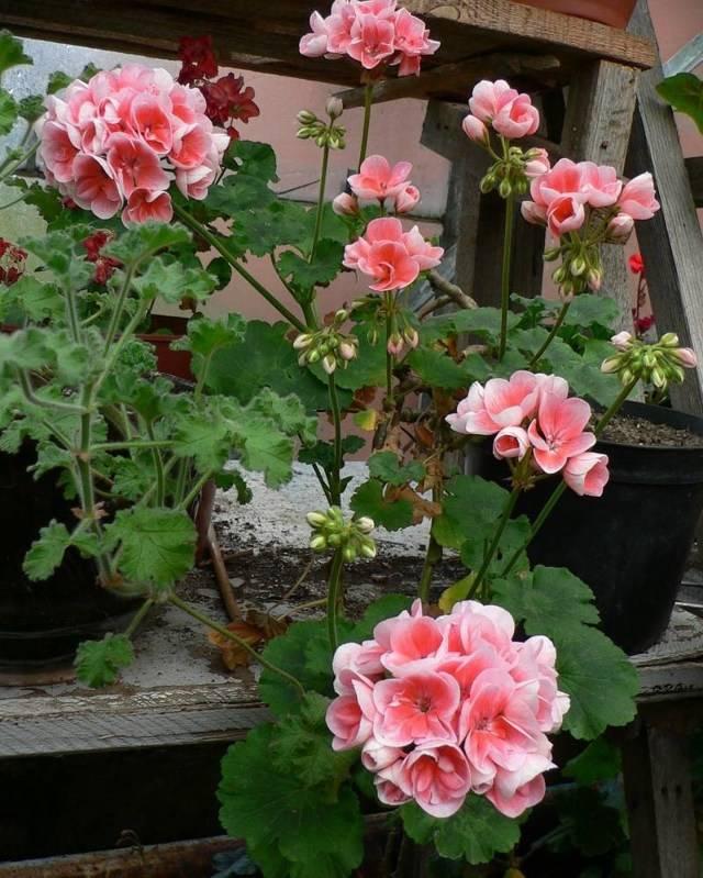 Пеларгония плющелистная — лучшие сорта герани