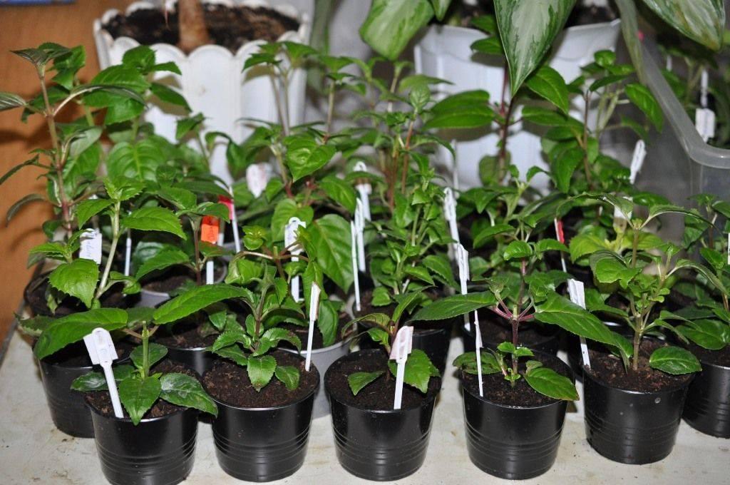 Броваллия цветок: уход в домашних условиях и способы размножения