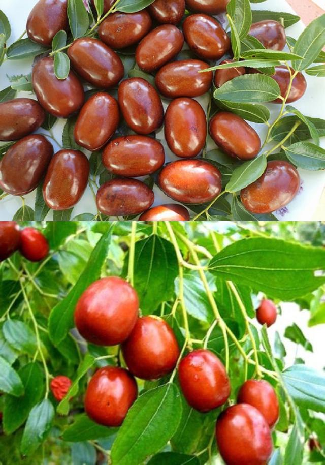 Зизифус (унаби) – полезные свойства, выращивание и уход.