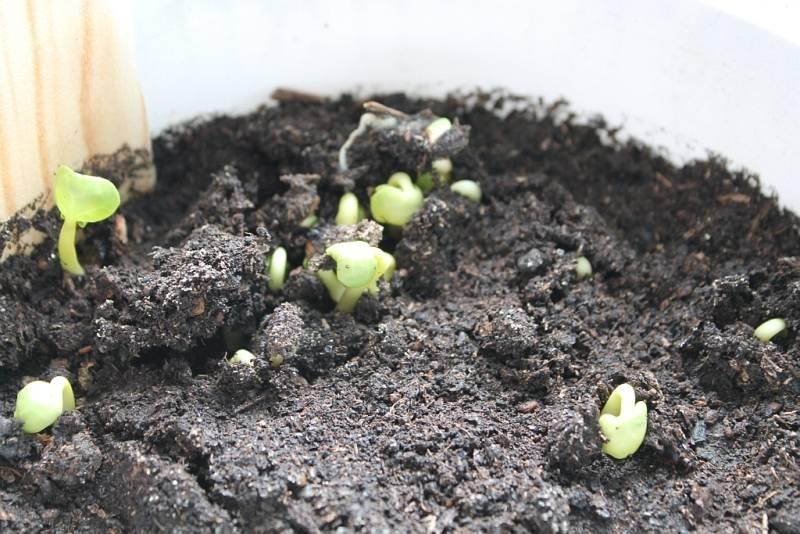 Как вырастить цинии. уход за ними в открытом грунте. когда сажать на рассаду