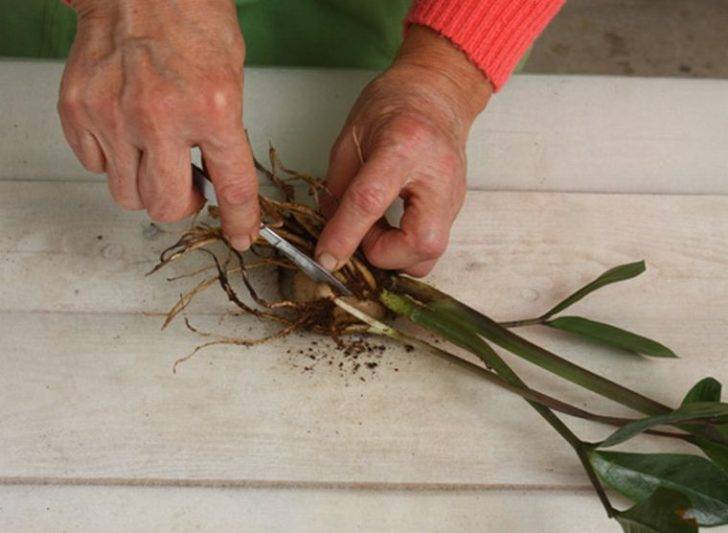 Замиокулькас: уход в домашних условиях за цветком и пересадка, размножение
