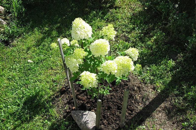 Как правильно посадить гортензию в открытый грунт весной? лучше ли посадка весной, чем осенью? как правильно сажать саженцы?