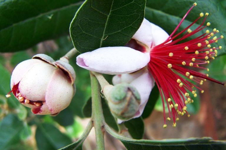 Фейхоа это фрукт или ягода — где растет и как выглядит