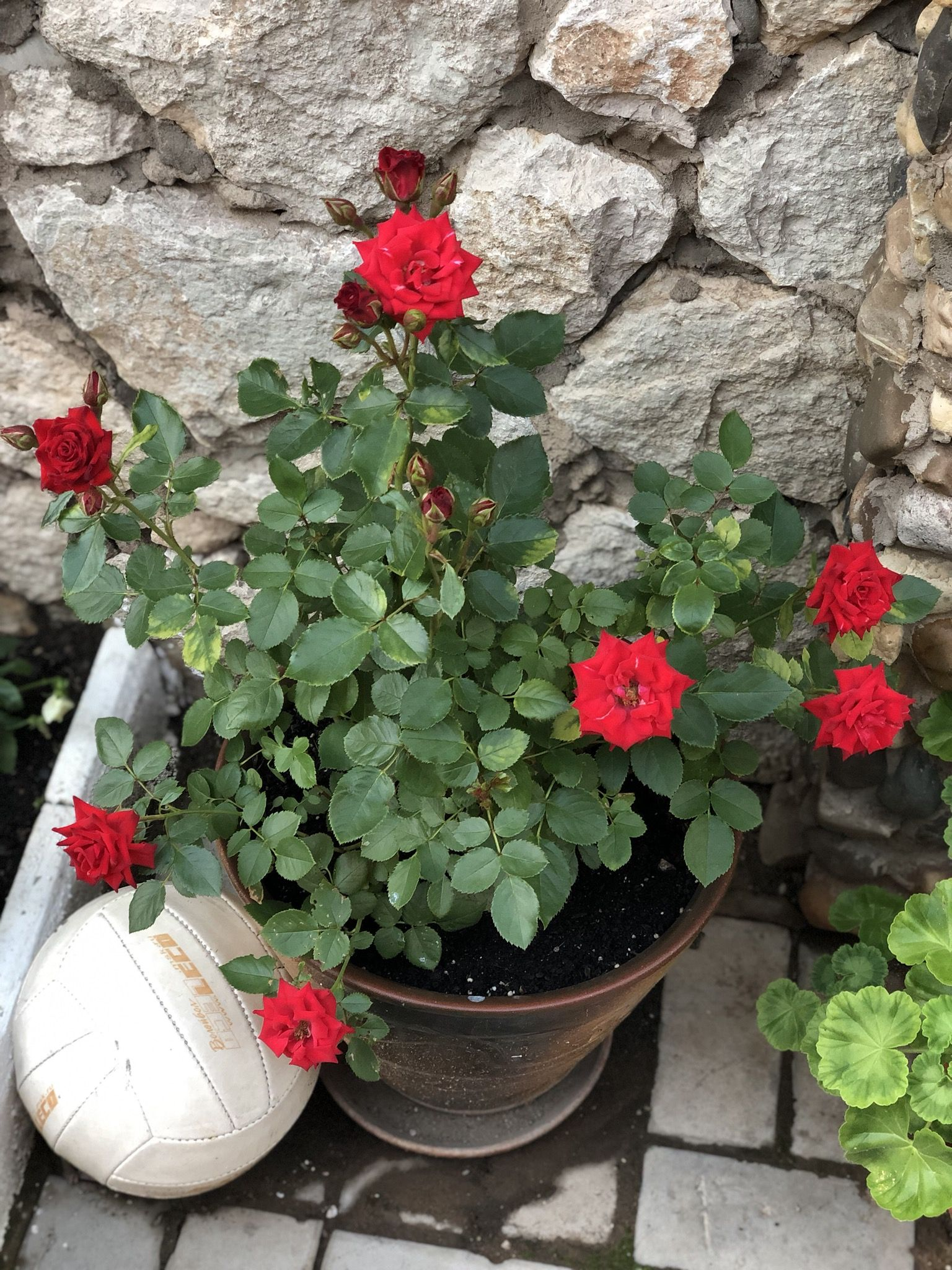 Парковые розы — описание, виды, фото
