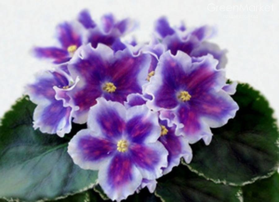 Фиалка ВаТ Царь Горох — особенности растения