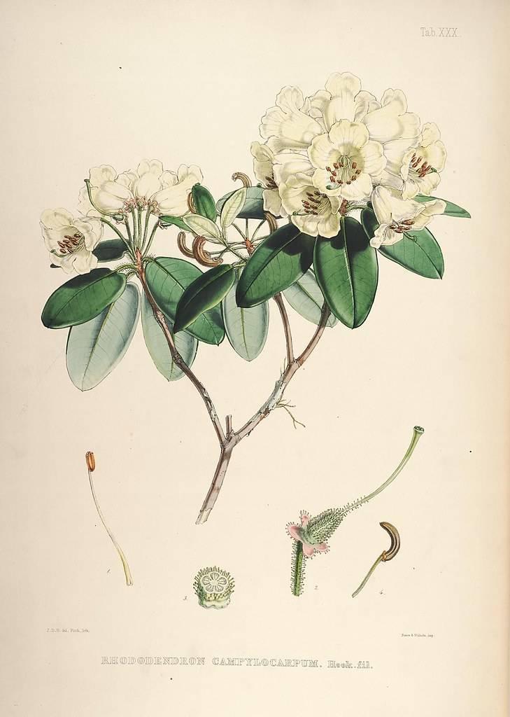 Рододендрон адамса (саган дайля) полезные свойства и противопоказания   100 трав