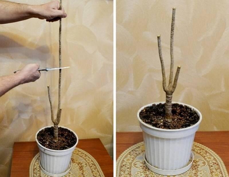 Обрезание юкки для получения побегов дома: как и когда делать после цветения