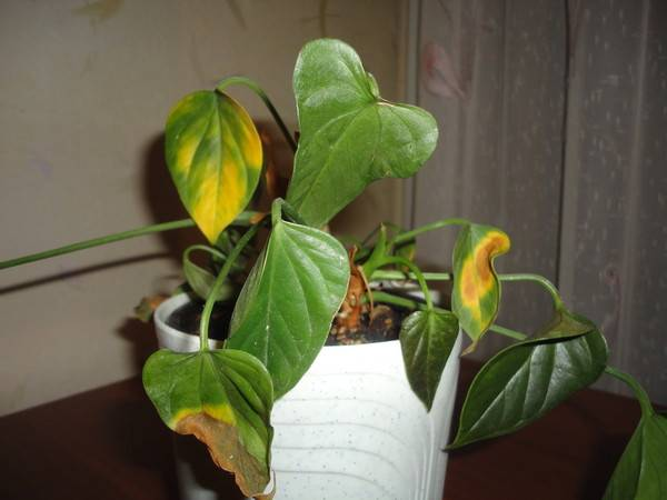 Как лечить болезни листьев антуриума? почему кончики листьев и цветов чернеют и сохнут? что делать, если на листьях пятна? как осуществлять уход за ними в домашних условиях?