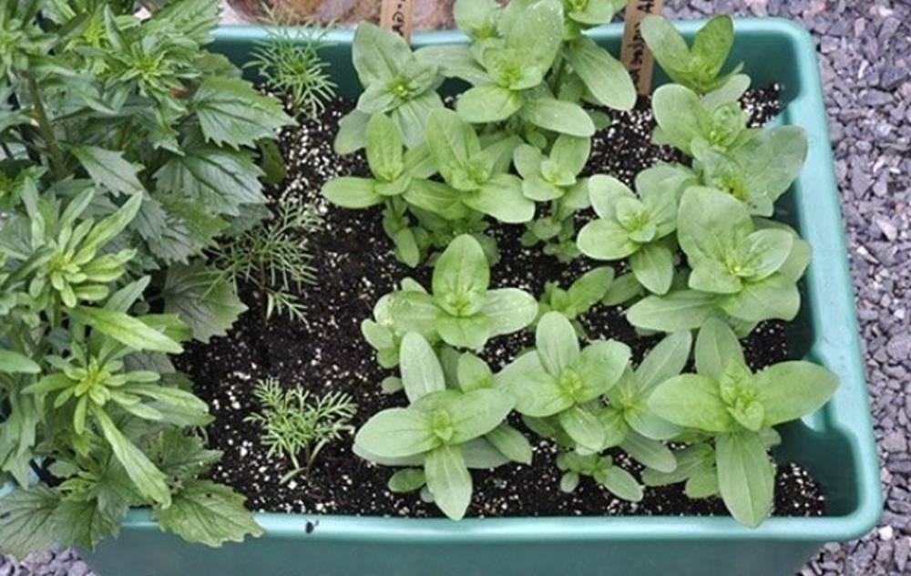 Как вырастить циннии из семян