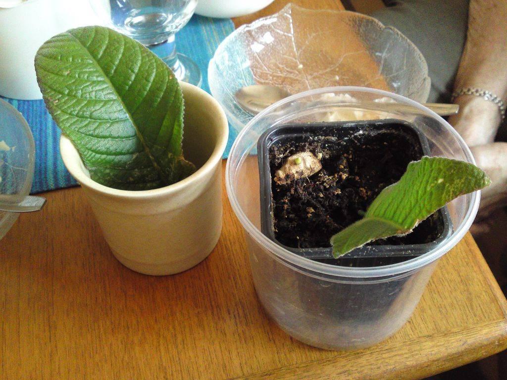 Стрептокарпус: уход и выращивание, размножение
